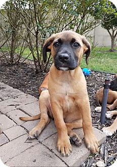 Black Mouth Cur Mix Puppy for adoption in Fort Atkinson, Wisconsin - Fern