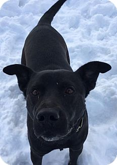 Labrador Retriever Mix Dog for adoption in Livonia, Michigan - Hunter