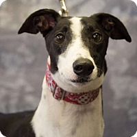 Adopt A Pet :: NB's Lock N Load - Carol Stream, IL