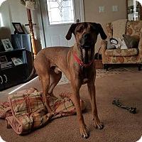 Great Dane/Labrador Retriever Mix Dog for adoption in Warsaw, Indiana - Cooper