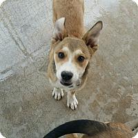 Adopt A Pet :: Tidbit - Apache Junction, AZ