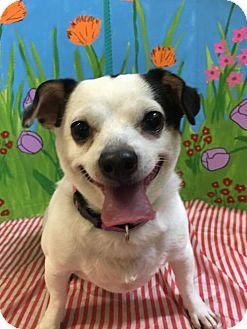 Chihuahua Dog for adoption in Toronto, Ontario - Bo 3387