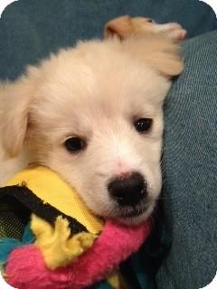 Golden Retriever Mix Puppy for adoption in Brattleboro, Vermont - Ginny Pup