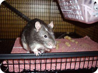 Rat for adoption in Greenwood, Michigan - Uno
