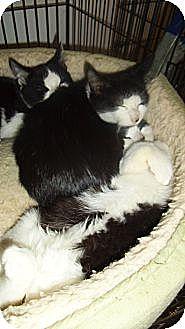 Domestic Shorthair Cat for adoption in Bear, Delaware - The Village Boys Triplets