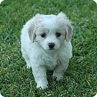 Adopt A Pet :: Marcia - La Habra Heights, CA