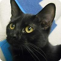 Domestic Shorthair Cat for adoption in Greenville, Illinois - Fantasia