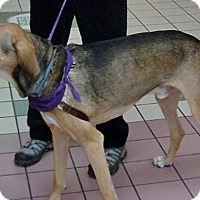 Hound (Unknown Type) Mix Dog for adoption in Wilton, New York - Doc McCready