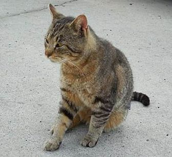 Domestic Shorthair Cat for adoption in Stanhope, New Jersey - Charlie