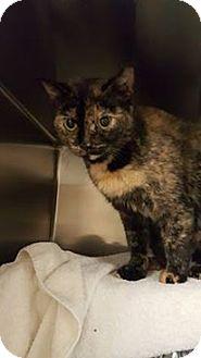 American Shorthair Cat for adoption in Tiffin, Ohio - Regina