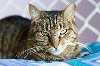 Domestic Shorthair Cat for adoption in Freeport, New York - Amalphia