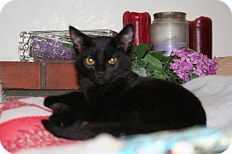 Domestic Shorthair Kitten for adoption in Santa Rosa, California - Zeus