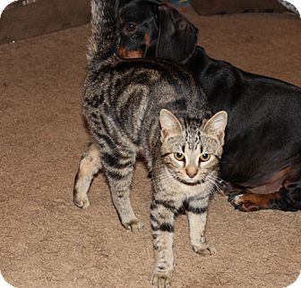 American Shorthair Cat for adoption in Hagerstown, Maryland - Tiger