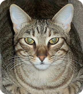 Domestic Shorthair Cat for adoption in North Highlands, California - Toya