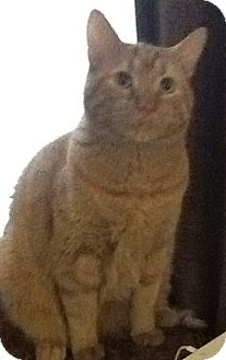 Domestic Shorthair Cat for adoption in Winder, Georgia - *Tiger