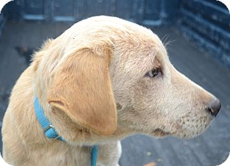 Golden Retriever/Labrador Retriever Mix Dog for adoption in Westport, Connecticut - *Beau - PENDING