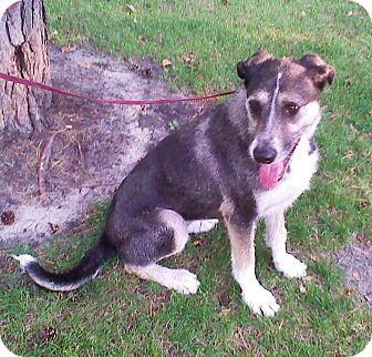 Australian Shepherd/Schnauzer (Giant) Mix Dog for adoption in Minneapolis, Minnesota - Estrella