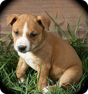 German Shepherd Dog/Pit Bull Terrier Mix Puppy for adoption in Cypress, California - Rosa