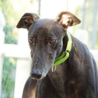 Greyhound Dog for adoption in Ware, Massachusetts - Tuck