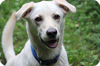 Labrador Retriever Mix Dog for adoption in Hanover, Ontario - Buddy
