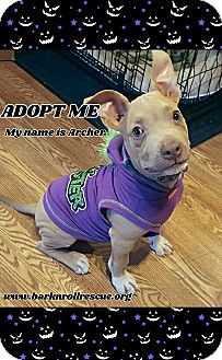 Pit Bull Terrier Mix Puppy for adoption in Cypress, California - Archer