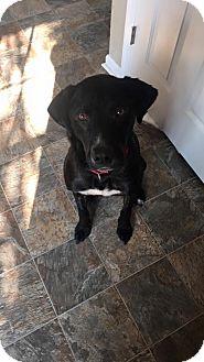 Labrador Retriever Mix Dog for adoption in Alpharetta, Georgia - Griff