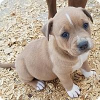 Adopt A Pet :: Bimbette $250 - Seneca, SC
