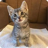 Adopt A Pet :: Cat-Banana - Denver, CO