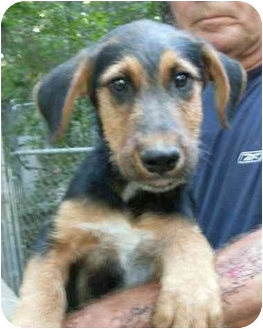 Airedale terrier mix puppies