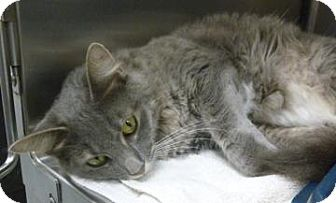 Domestic Mediumhair Cat for adoption in Gainesville, Florida - Pickles