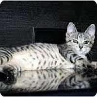 Adopt A Pet :: Lacey - Arlington, VA