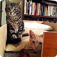 Adopt A Pet :: Monkey & Rocket - Portland, ME
