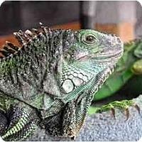 Adopt A Pet :: Lily - Longmont, CO