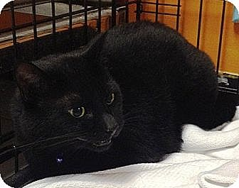 Domestic Shorthair Cat for adoption in Laconia, Indiana - My My