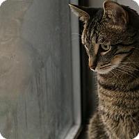 Adopt A Pet :: Lev - Los Angeles, CA