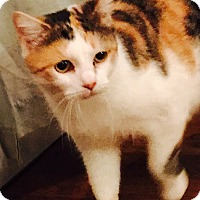 Adopt A Pet :: Polly - Ronkonkoma, NY
