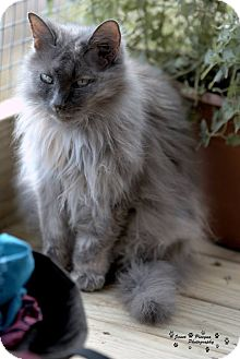 Domestic Longhair Cat for adoption in Transfer, Pennsylvania - Logan