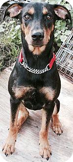 Doberman Pinscher/Terrier (Unknown Type, Medium) Mix Dog for adoption in Columbia Heights, Minnesota - Romeo