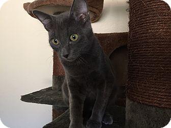 Domestic Shorthair Kitten for adoption in Hesperia, California - Quincy