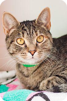 Domestic Shorthair Cat for adoption in Brimfield, Massachusetts - Starfire