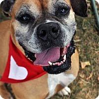 Boxer Mix Dog for adoption in Fairfax Station, Virginia - Loralie