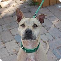 Adopt A Pet :: Kovu - Bradenton, FL