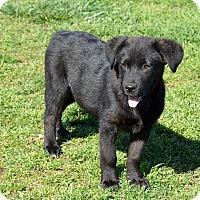 Adopt A Pet :: Athena - Westport, CT