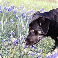 Adopt A Pet :: Indy - Flower Mound, TX