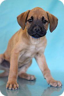 Pug Mix Puppy for adoption in Waldorf, Maryland - Weezer