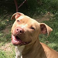 Adopt A Pet :: Bravo - Lompoc, CA
