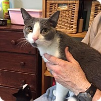 Domestic Shorthair Cat for adoption in Fairfax, Virginia - Cheddar Cheese