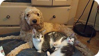 Domestic Shorthair Kitten for adoption in Toronto, Ontario - Nash