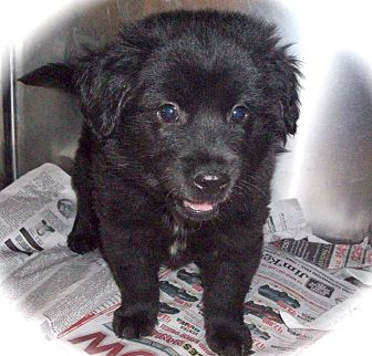Retriever (Unknown Type)/Border Collie Mix Puppy for adoption in CHICAGO, Illinois - RICKY