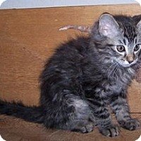 Adopt A Pet :: K-Whiskers1-Andretti - Colorado Springs, CO
